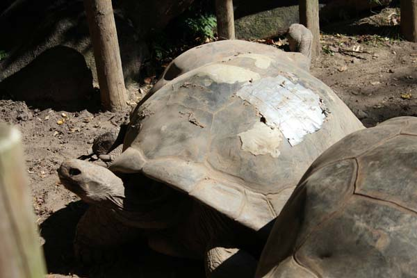 13.) Help a tortoise's shell heal.