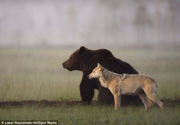 For 10 days straight, Lassi witnessed something amazing. A young bear and wolf would meet and spend time together.