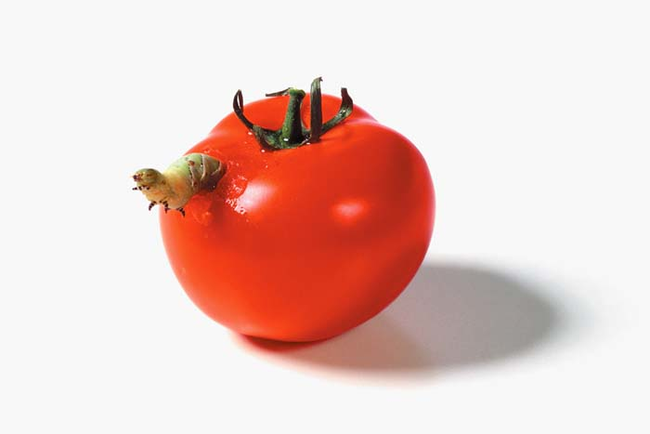 Caterpillars devouring a tomato.