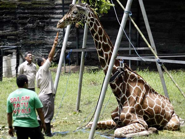 Kliwon the giraffe died with a 40lb wad of plastic the size of a beach ball in its stomach.